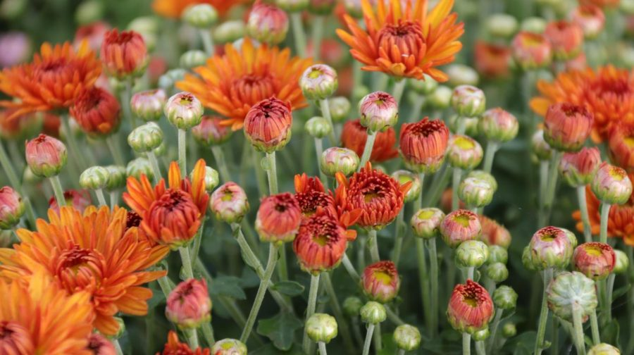 A group of blooming chrysanthemums open its petals to the crisp fall air, awaiting the cool breezes to come. The mums also fashionably sport East's school colors: orange and green. - Laine Cibulskis